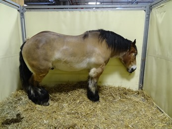 2018.02.25-074 Bob de l'Orme cheval ardennais