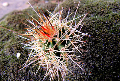 Cactus growing in moss