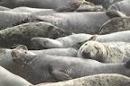 A LA MANIF' Les phoques étaient plus de 150 à s'être réunis sur cette plage de l'Ile Bonaventure
