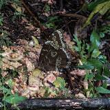Morpho (Morpho) helenor leontius C. Felder & R. Felder, 1867. Santa María en Boyacá, 1200 m (Boyacá, Colombie), 17 novembre 2015. Photo : C. Basset