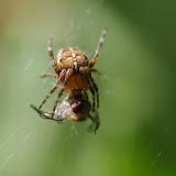 Araneidae : Araneus diadematus (CLERCK, 1757). Les Hautes-Lisières (Rouvres, 28), 26 août 2012. Photo : J.-M. Gayman