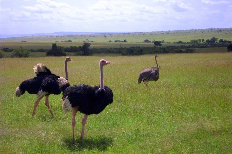 #wildlifesafaritanzania #Travelbloggerindia #Travelblog #Tanzaniatravelblog #tanzaniatourism #Tanzaniawildlifespotting #wildlifesafariafrica #Ngorongoroconservationarea #ostriches
