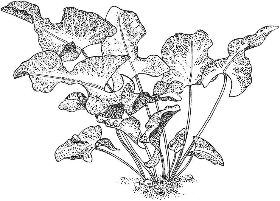 Кубышка стрелолистная (Nuphar sagittifolia)