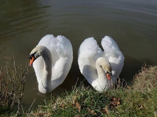 CIMG5823 Friendly swans at Ockhams pond