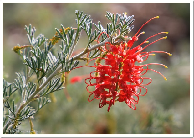 161127_UCDA_Grevillea-Magic-Lantern_004
