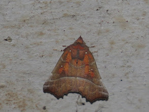 Photo: 26 Jul 13 Priorslee Avenue tunnel: This moth is called The Herald and it is easy to see why. Also found in the tunnel under Priorslee Avenue. My first for several years though it is quite a common moth. (Ed Wilson)