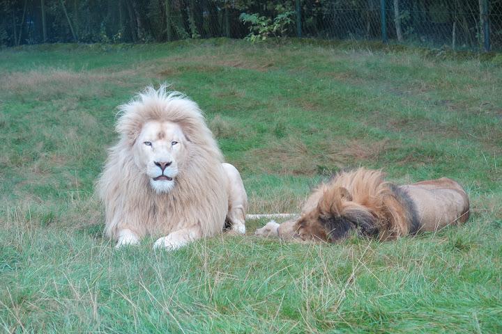 Weiße Löwen sind ein nicht alltäglicher Anblick