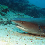Quite close to the whitetip reefshark