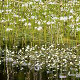 Водяной лютик завитой (Batrachium circinatum)