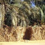 Oasis : près du bassin de Cléopâtre (mihrab de palme)