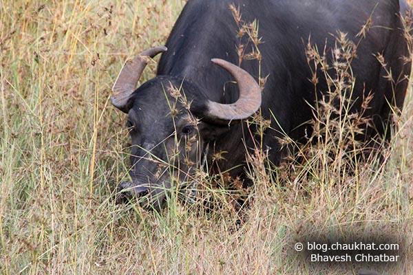 Grazing Indian Buffalo