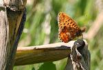 Rødlig perlemorsommerfugl11.jpg