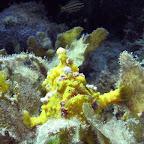 Frogfish (Cabilao)
