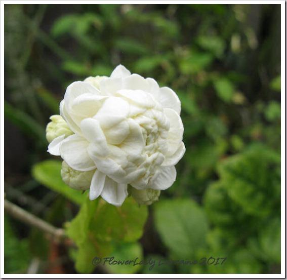 04-25-grand-duke-jasmine