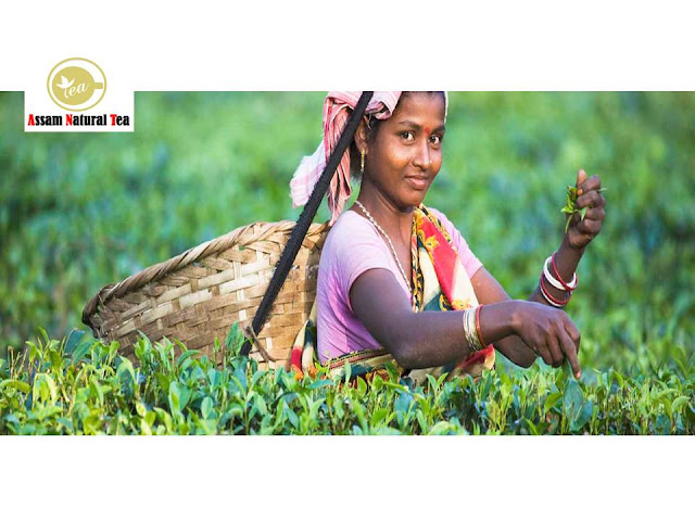 assam tea manufacturer