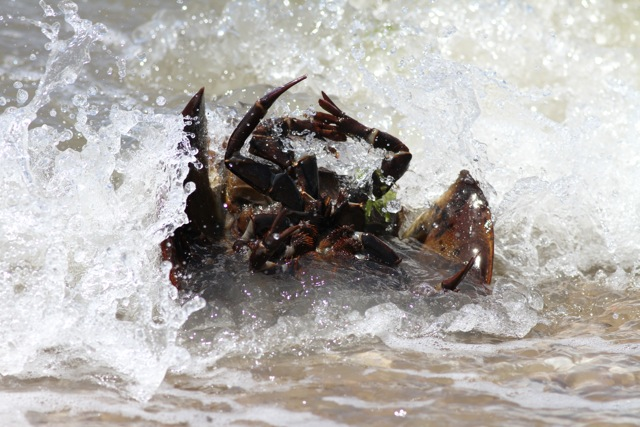 This is why crabs don't like waves.