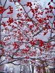 Winter berries - early spring