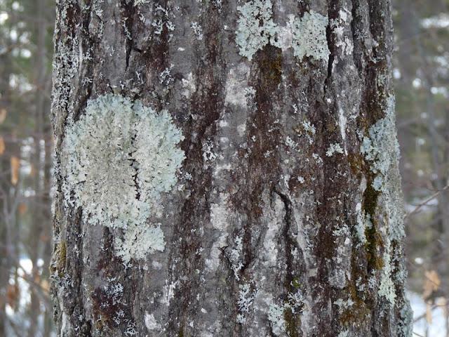 Parmelia caperata lichen