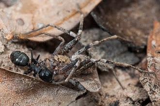 Photo: Hunting spider and ant on a fiersome battle Aranha caçadora e uma formiga numa luta feroz