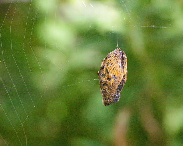 Nymphalidae (Speyeria aglaja, Fabriciana adippe ?) capturée par une araignée. Maurin, 2000 m, 11 août 2009. Photo : J.-M. Gayman