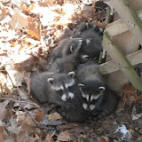 Six small raccoons