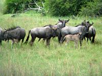 Wildebeest - Okavango Delta