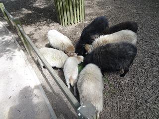 2016.09.02-006 moutons d'Ouessant