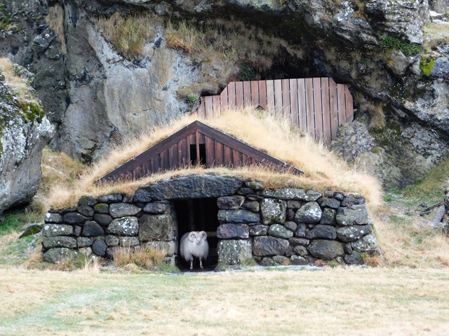 stone barn with Icelandic sheep