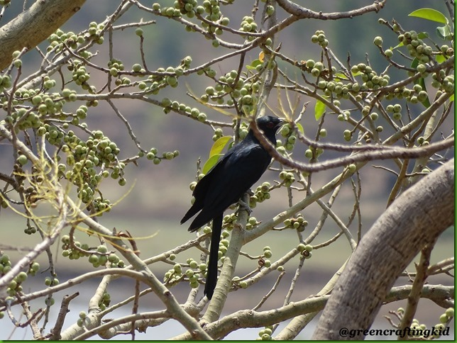 Asian Koel Male2