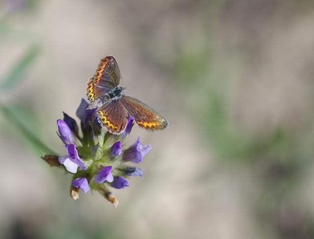 Polyommatus escheri (Hübner, 1823), ♀. Les Hautes-Courennes (500 m), Saint-Martin-de-Castillon (Vaucluse), 19 juin 2015. Photo : J.-M. Gayman