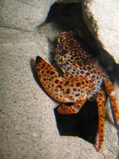 Дом для леопардов (Parathelphusa pantherina) IMG_3239%5B1%5D