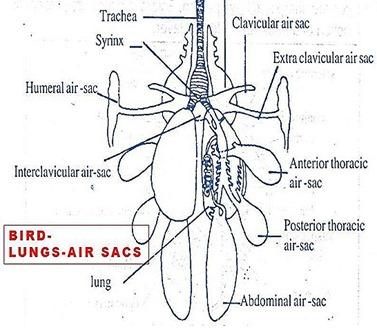 bird-lungs-airsacs