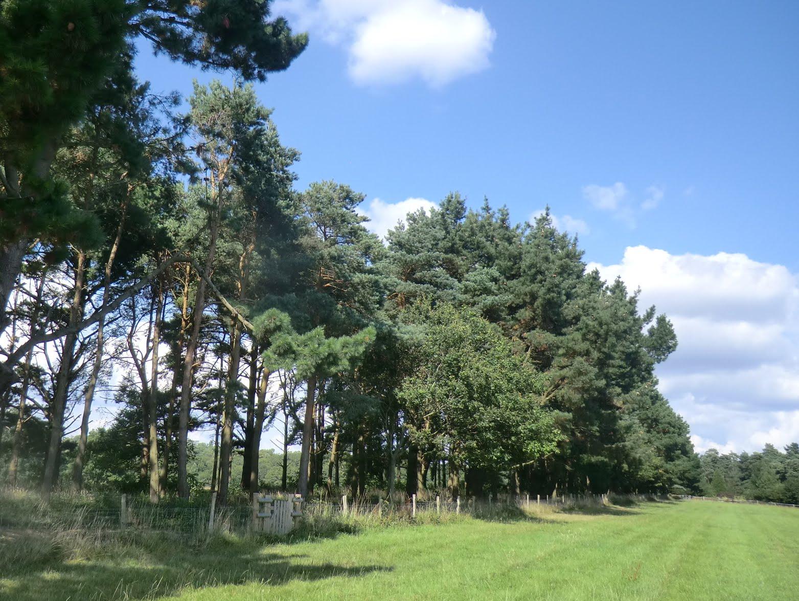 CIMG4118 Conifer plantation