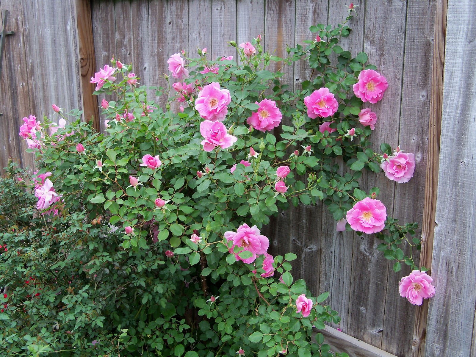 Gardening 2011 - 100_7264.JPG