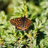 Euphydryas intermedia wolfensbergeri FREY, 1880. Marmorè, Val Fex, 2200 m (Grisons, CH), 11 juillet 2013. Photo : J.-M. Gayman