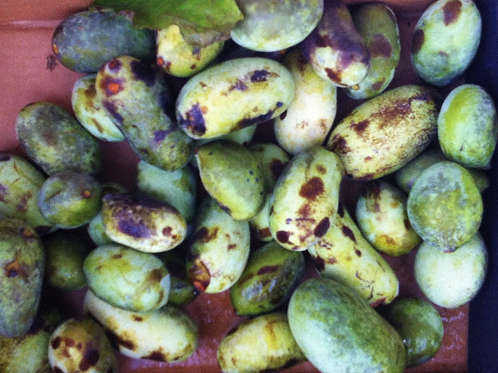 How to forage, cook, and eat pawpaws - an interview with author Sara Bir