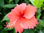 Hibiscus flowers line the west side of the property creating nice shade and luscious color.
