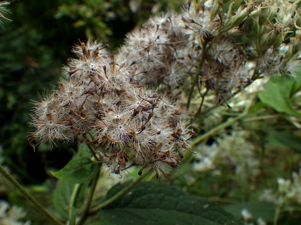 花後のヒヨドリバナ