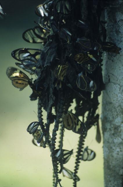 Ithomiinae : Pteronymia forsteri BAUMANN, 1985, Ithomia salapia ardea HEWITSON, 1861, Hypothyris euclea nina HAENSCH, 1905 (jaune et orange) et Godyris zavaletta HEWITSON, 1855 (en haut, à gauche). Tambopata Research Center, 13 août 2004. Photo : J.-M. Gayman