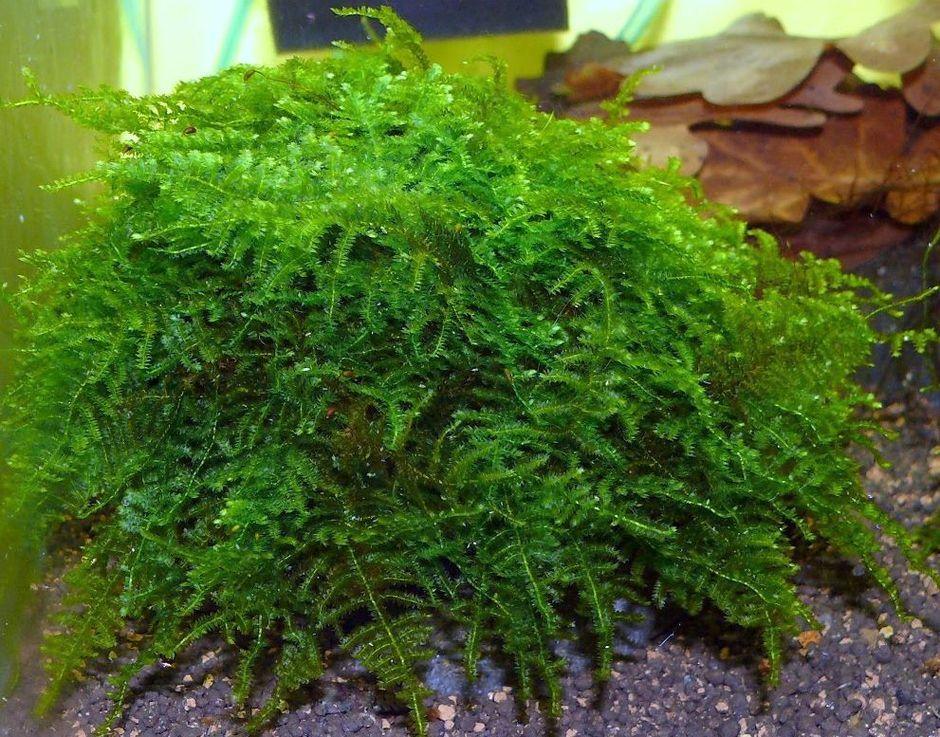 Мох рождественский (Christmas Moss) (Vesicularia montagnei)