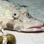 Crocodile fish (Mabul)