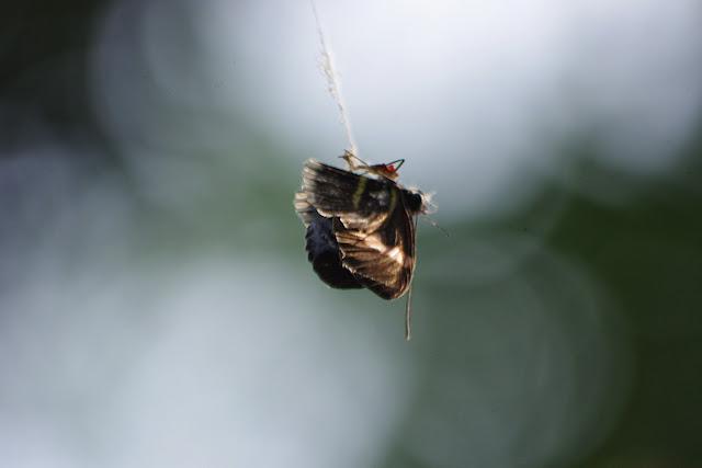 Heliconius melpomene cythera (HEWITSON, 1869) capturé par une araignée. Tunda Loma (Calderon, San Lorenzo, Esmeraldas), 30 novembre 2013. Photo : J.-M. Gayman