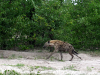 Hyena - Linyanti Concession (Chobe Region)
