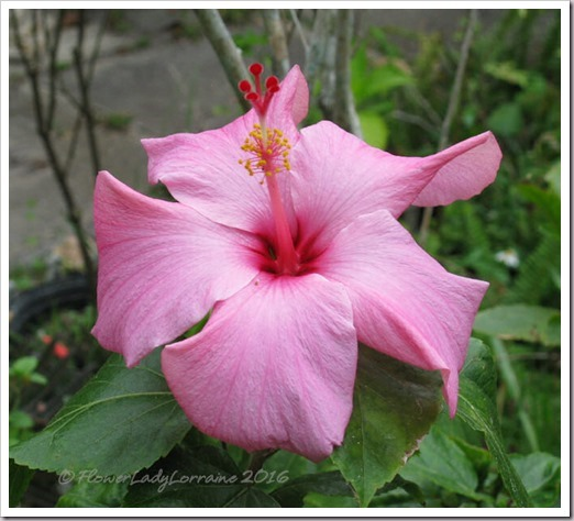 03-19-pink-hib_thumb2
