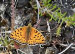 Klitperlemorsommerfugl6 - Fanø.jpg