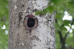 QUEL TEMPS FAIT-IL ??Les cavités creusées par le pic noir peuvent servir à la nidification de nombreux autre animaux