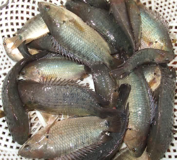 Nuôi cá rô đồng sinh sản bằng phương pháp nhân tạo - 55baa35befe43