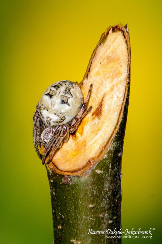 Крестовик роговой (Larinioides cornutus)