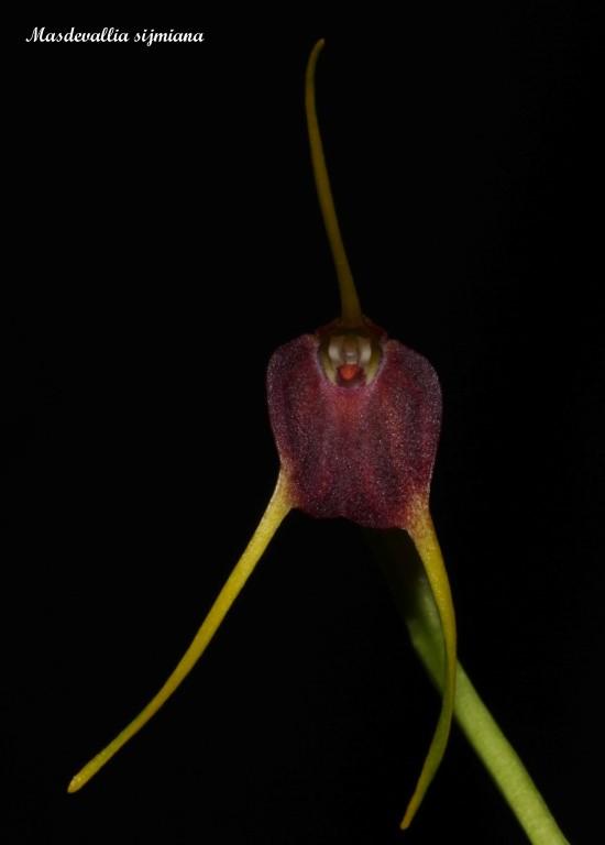 Alaticaulia posadae ( ex. Masd. posadae )  syn: Masd.sijmiana IMG_7119b%252520%252528Medium%252529