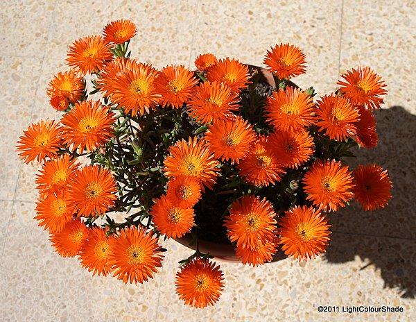 Orange ice plant (Lampranthus aureus) in flower